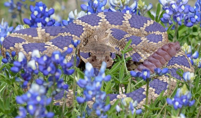 The-Bluebonnet-Ratlesnake-660x390